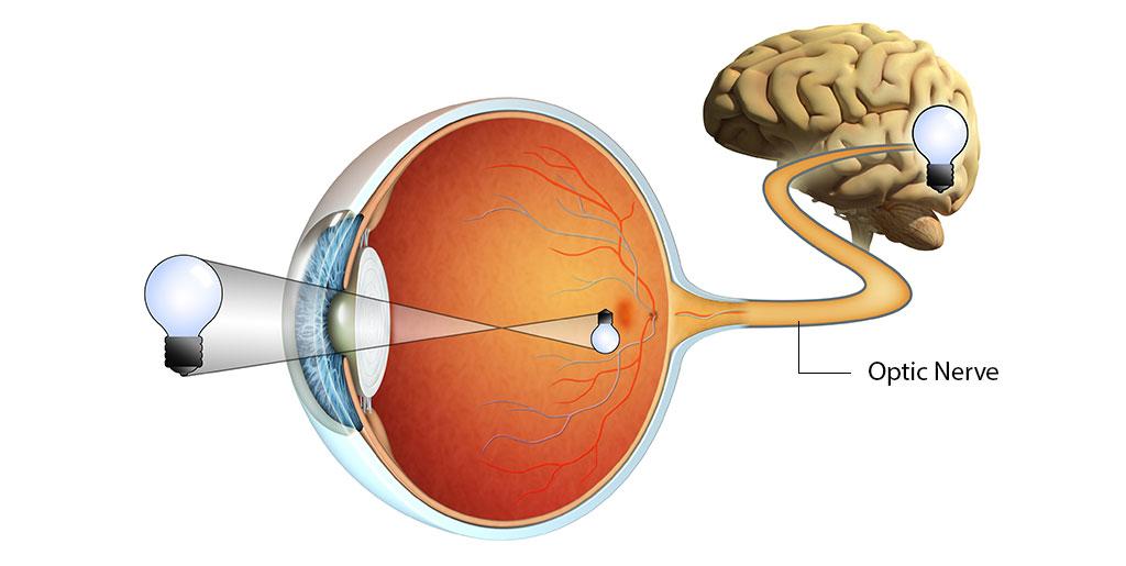 Der Sehnerv wandelt optische Informationen in elektrische Signale um und transportiert sie ins Gehirn.